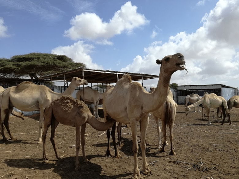 Agrikaab Camel from a Camel Farm in Somalia