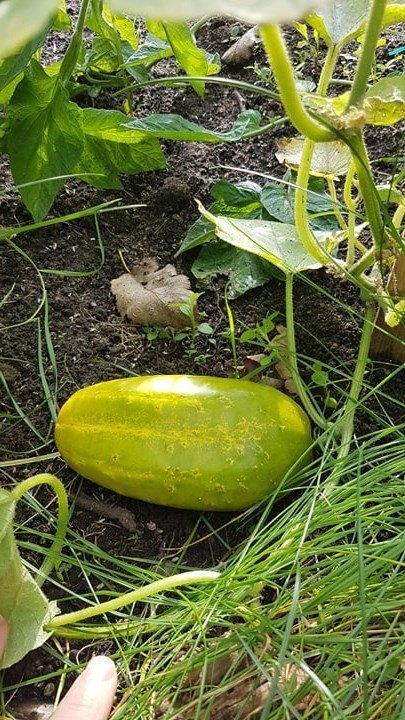 Butternut pumpkin growing in the garden